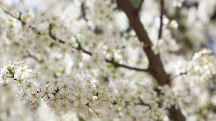 spring bloominf of fruit tree