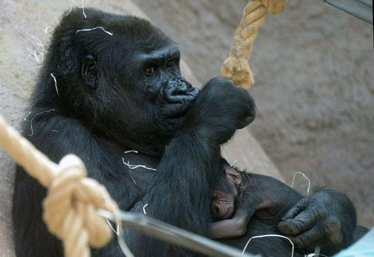 Los guardias del zoológico de Cincinnati (Ohio, norte de EEUU), dispararon y mataron a un gorila el sábado después que atrapara a un niño de tres años que cayó en el foso que rodea su recinto.