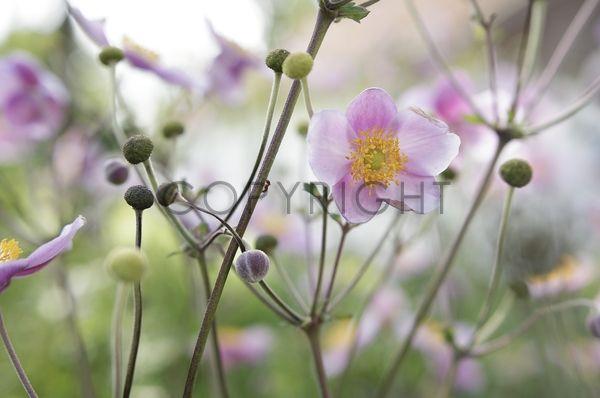 Herbst Anemone / 11574856