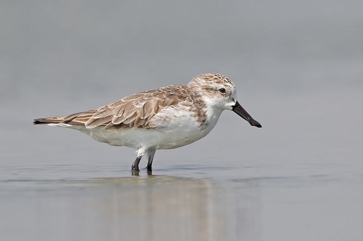 The spoon-billed sandpiper (Calidris pygmaea) is a small wader which breeds in north-eastern Russia and winters in Southeast Asia.  The spoon-billed sandpiper's breeding habitat is sea coasts and adjacent hinterland on the Chukchi Peninsula and southwards along the isthmus of the Kamchatka peninsula It migrates down the Pacific coast through Japan, North Korea, South Korea and China, to its main wintering grounds in South and South-East Asia, where it has been recorded from India…