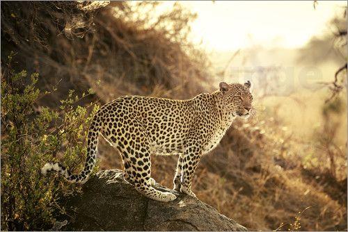 female Leopard (Panthera pardus), Serengeti National Park, UNESCO world heritage site, Tanzania, Africa