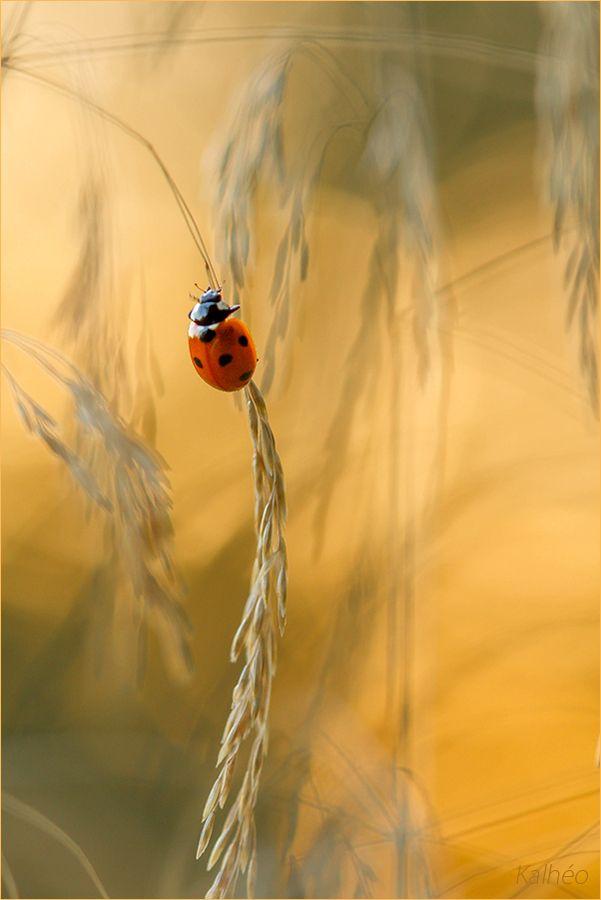 Pretty ladybug (by florence Kalheo, via 500px)