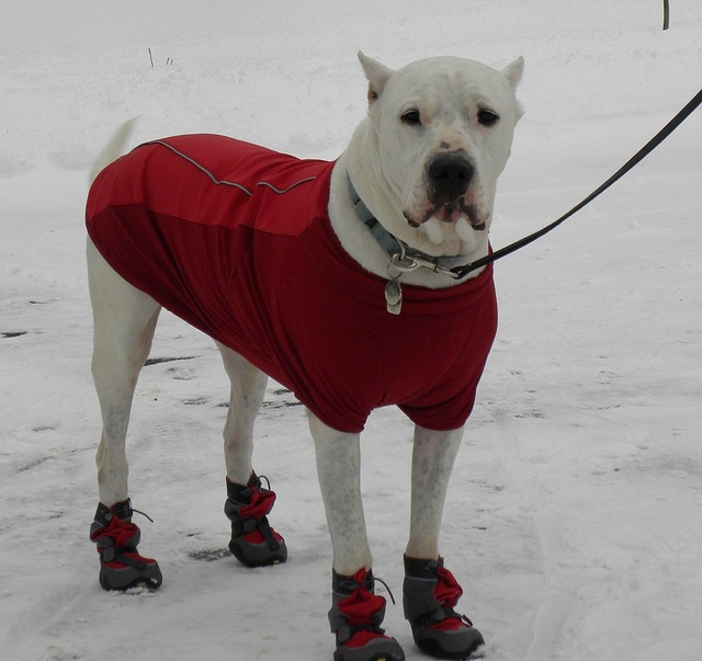 Dogo argentino. My Handsome Snow-go Argentino by andigirl, via Flickr. #dog #argentina #boots
