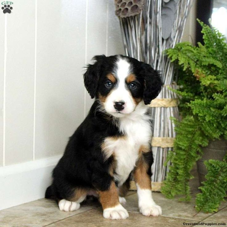 Bernese Mountain Dogs Miniature Bernese Mountain Miniature Berner Sennenhunde Miniatur Bouvier Bernois In 2020 Greenfield Puppies Bernedoodle Puppy Bernedoodle