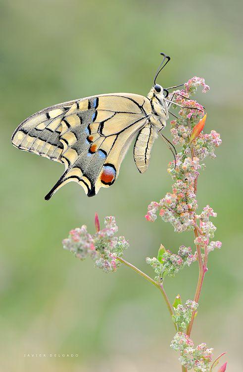 butterfly by Javier Delgado