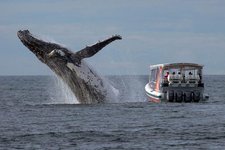 Игра на публику. Горбатый кит у побережья Австралии. Горбатые киты нередко бьют и хлопают по поверхности моря длинными грудными плавниками и хвостовым плавником, взбивая пену, перекатываются на спине, выставляют из воды морды. Часто полностью выпрыгивают из воды в вертикальном положении и с оглушительным всплеском падают вниз. (Фото J.P. Goodridge | Whale Watching Sydney)