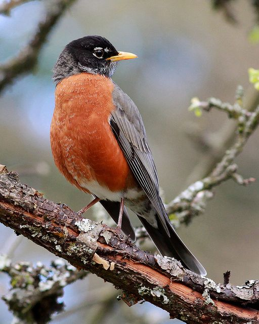 American Robin - We have lots of Robins in our area. They are regular visitors to our feeders.
