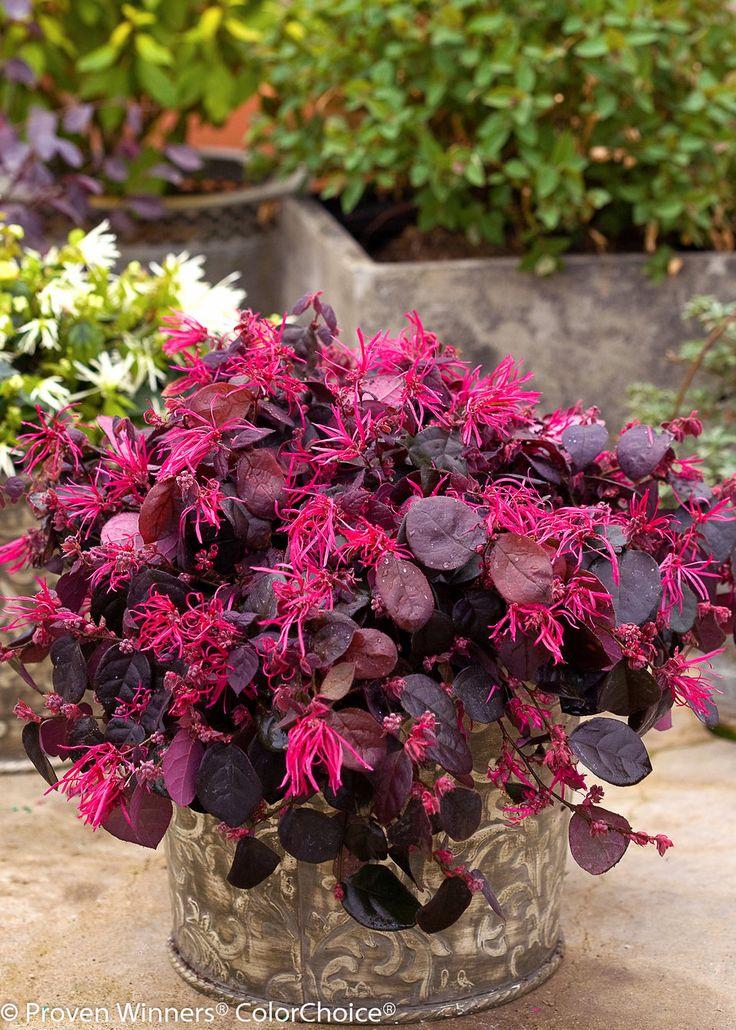 Jazz Hands® Bold - Chinese fringe-flower - Loropetalum chinense