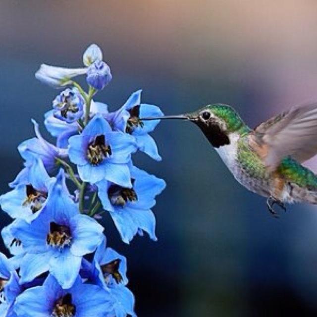 : Google Hummingbirds, Broadtail Hummingbirds, Hum Birds, Beautiful Hummingbirds, Blue Delphinium, Hummingbirds Photo, Beautiful Birds, Colors Hummingbirds, Hummingbirds Pictures