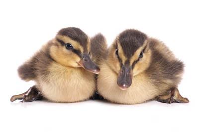 How to Take Care of Ducklings in 5 Steps