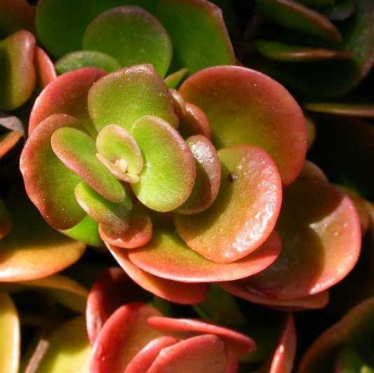 Sedum Tetractinum Coral Reef
