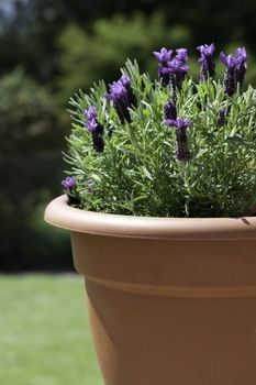 Image result for lavender pots.