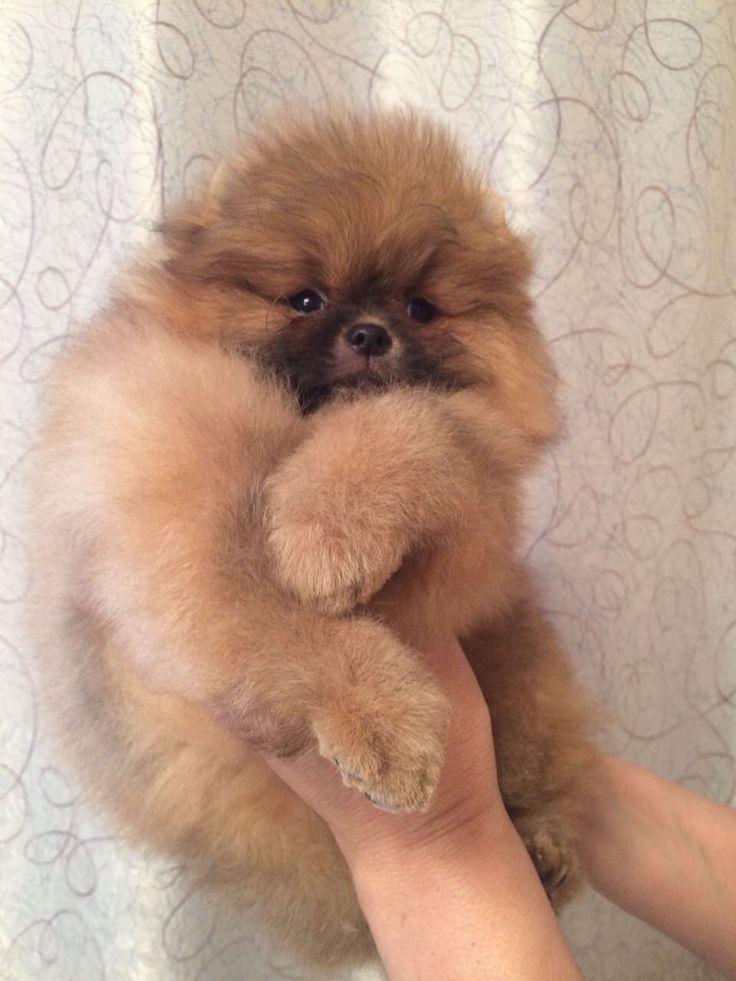 Spitz nain Pomeranien disponibles et prix par Newsletter Pomeranian puppies available and prices on Newsletter