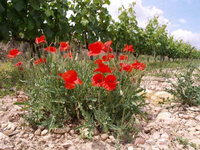 Las Cepas, Rioja, Spanien  Integrierter, kontrolliert biologischer Weinbau in Spanien ... nicht nur optisch sehr schön ... ;-)