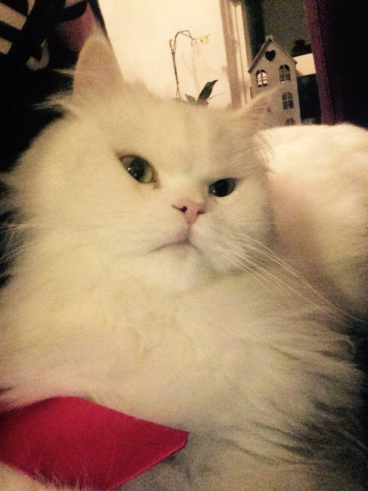 Sleepy persian cat / slaperige perzische kat