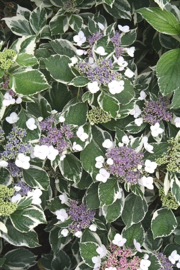 Hydrangea macrophylla Maculata | Variegated Lacecap Hydrangea for sale $19.00 | Plant Delights Nursery