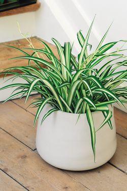 Chlorophytum : assainisseur d'air. Ou phalangère, ou « plante araignée » (Chlorophytum comosum). Effet dépolluant contre les solvants des peintures et des colles (toluène, formaldéhyde). Capte aussi le monoxyde de carbone et le xylène. Plante robuste et prolifique, parmi les plus appréciées des plantes d'intérieur. - See more at: http://www.espritsciencemetaphysiques.com/top-18-des-plantes-d-interieur-pour-la-purification-de-lair-que-vous-respirez-selon-la-nasa.html#sthash.C1lPb4fB.dpuf
