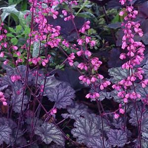 Buy Heuchera Raspberry Ice Perennial . Garden Crossings Online Garden Center coral Bells Plants.  Shade loving great texture and colors and Hummingbird happiness