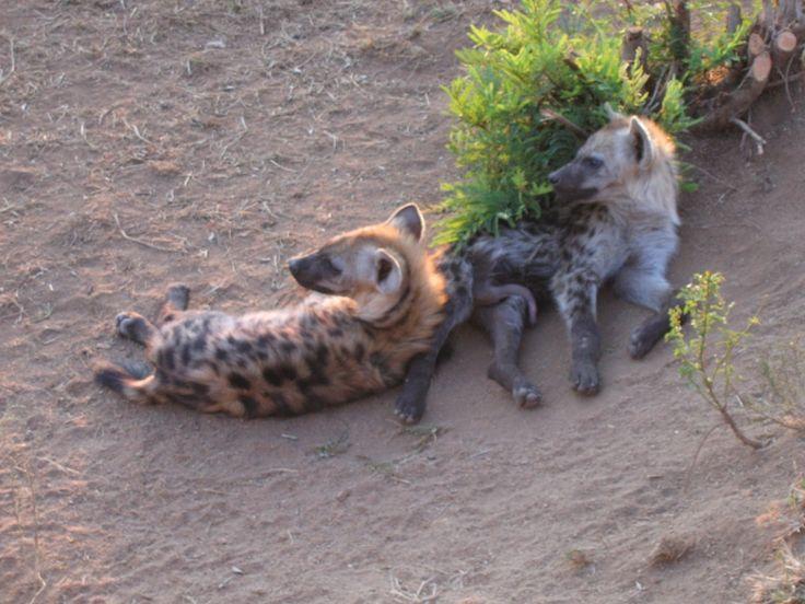 Hyenas relaxing-Kruger National Park!