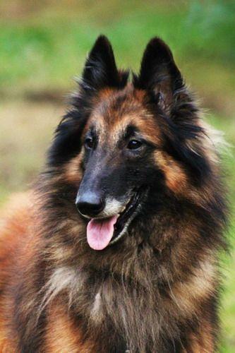 Chien de Berger Belge (Belgian Shepherd Dog) Tervueren