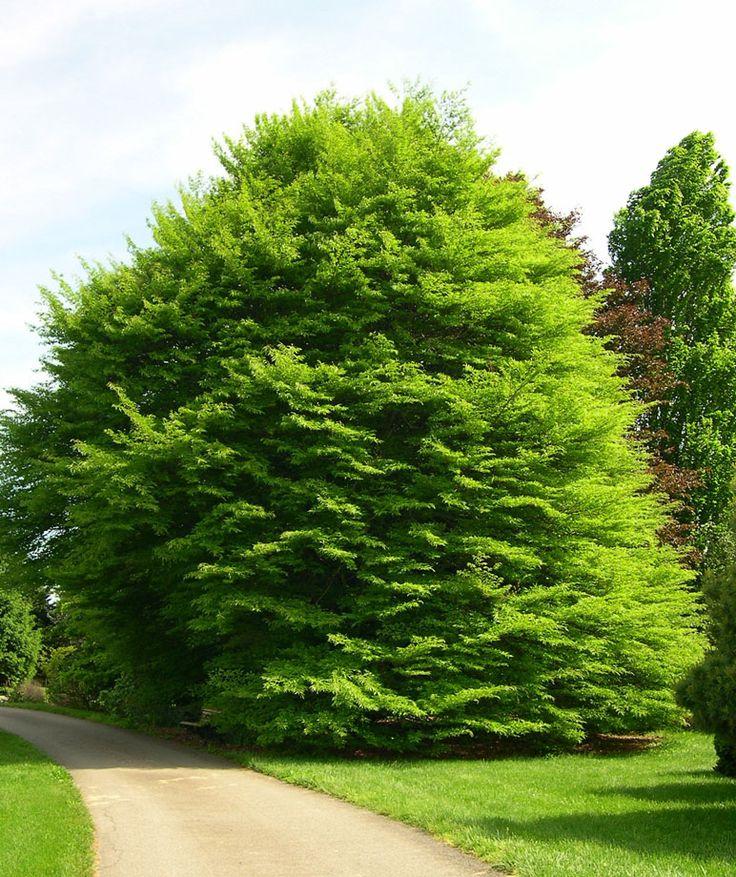 Fagus sylvatica 'Laciniata' or 'Asplenifolia' (Cut Leaf European Beech) Height: 50-60 feet. Spread: 35-45 feet. Notes: very beautiful trees, attractive foliage, smooth gray bark and nice habit.