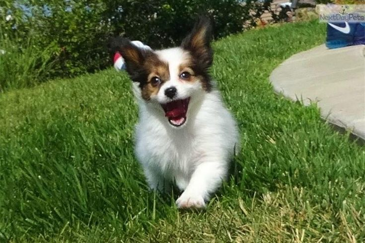 Meet Stella a cute Papillon puppy for sale for $895. Gorgeous Female ACA Papillon Puppy for Sale in SD