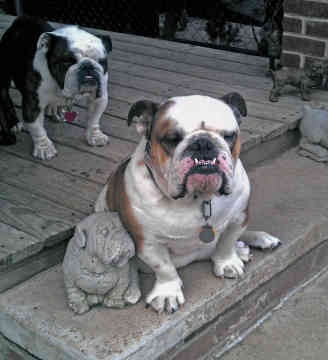miniature english bulldog vs english bulldog miniature english bulldog vs english bulldog 9845
