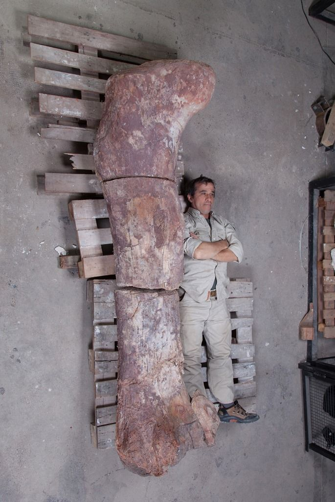 The sauropod's femur next to researcher Pablo Puerta.