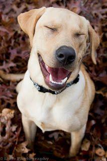 Image result for smiling labrador