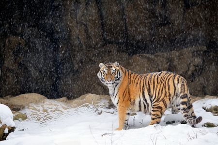 Learn all you wanted to know about Siberian tigers with pictures, videos, photos, facts, and news from National Geographic.