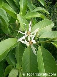 Magnolia x Alba, Michelia x Alba Family: Magnoliaceae White Champak, Pak-Lan, Banana Shrub, Cempaka Putih, Bai Yu Lan ( white-jade flower), ...