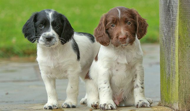 English Springer Spaniel puppies -- Not sure why they did not make a list of SMART dogs since our current one and her predecessor both have/had brains to spare and then some!