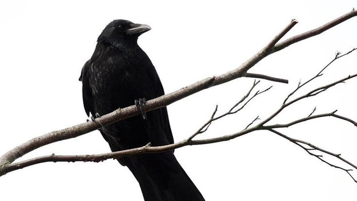 Petition · artisanofmagic@gmail.com: Stop the Millport, NY Hunting Club's Annual Crow Shooting Event · Change.org