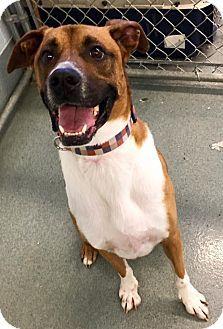 St. Louis, MO Boxer Mix. Meet Prancer, a dog for