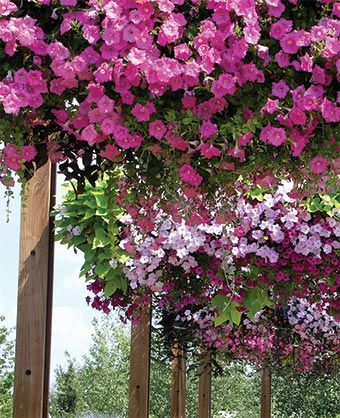 How to plant Wave petunias and pansies in hanging baskets