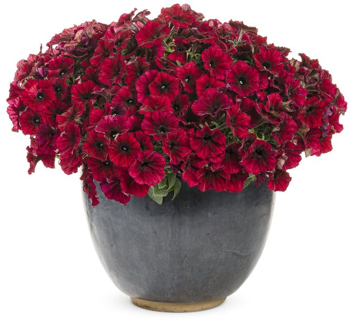 """Supertunia Black Cherry is a knock out with its unique burgundy flowers with black throats. This color will mix wonderfully with nearly any other color--lighten it with the delicate white blooms of Diamond Frost, or brighten it with another new variety, Supertunia Limoncello. Plan for 12"""" in height with a spread of 24"""". Best in full sun."""