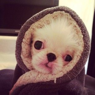 Fune is supposedly a Japanese Chin, but looks more like a tiny adorable E.T. if you ask me. | Fune Is The Most Painfully Cute Thing To Ever Happen To Instagram
