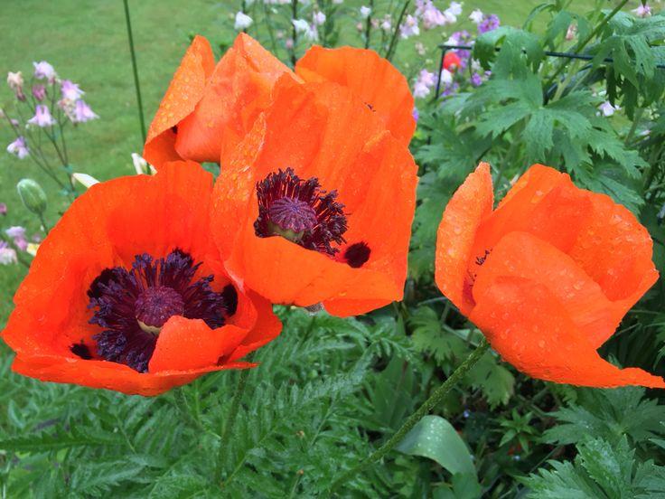 Poppys of my garden