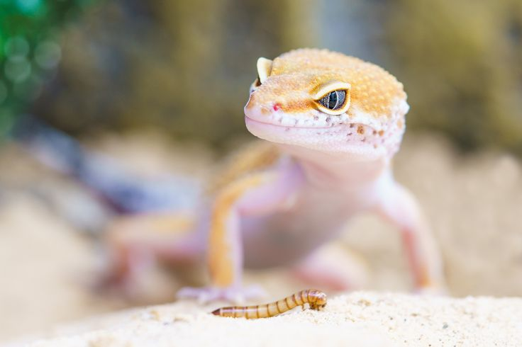 Leopard geckos are insectivores, which means that they only eat bugs. Learn what bugs to offer and other leopard gecko feeding tips here.