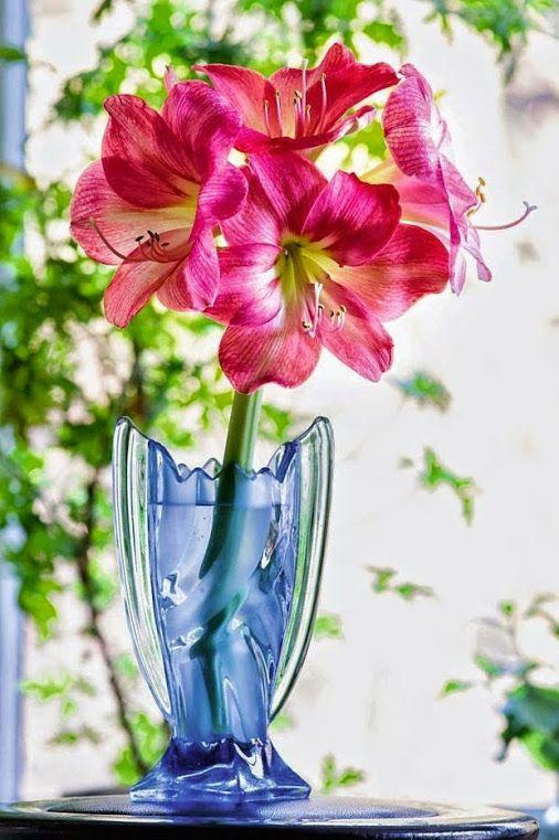 42 besten AMARYLLIS Bilder auf Pinterest | Ausfallen, Blumengarten ...