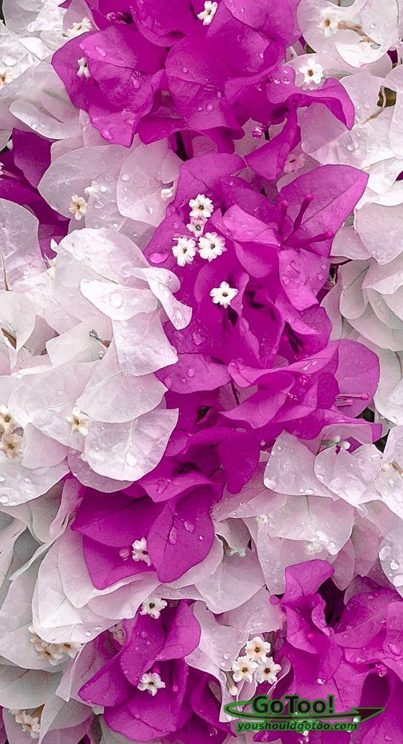 Bougainvillea Flower, Puerto Rico ***Trinitarias***