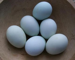 True Ameraucanas lay blue eggs. These eggs are from the William Morrow line of Blue Ameraucanas and are a brilliant blue. The grown hens will be either blue or black, have puffy muffs or beards and have pea combs. These are Blue Ameraucana eggs. If they are fertilized by a Marans rooster instead of an Ameraucana rooster, the resulting chick is an Olive Egger.