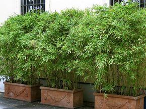 Fancy Bambus im K bel kann eine Terrasse im Garten oder einen Balkon mit einem lebendigen Sichtschutz sehr