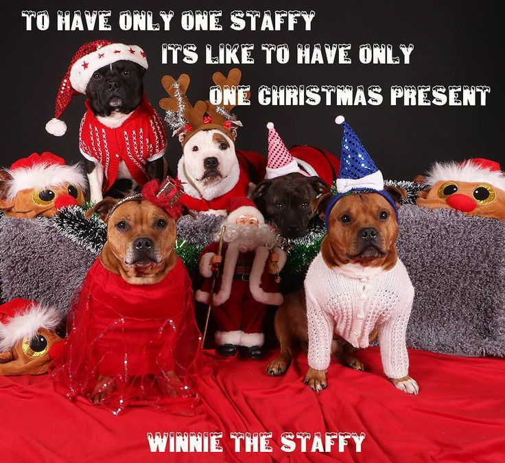 HP Stolpe - Staffy @winnie_the_staffy To have only one staffy it's like to have only one Christmas present #Sweden #Winnie #merrychristmas #happynewyear #staffylife #sävar #umeå #staffy #StaffordshireBullterrier