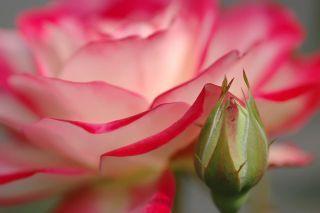 Domácí pleťový olej z okvětních lístků růží