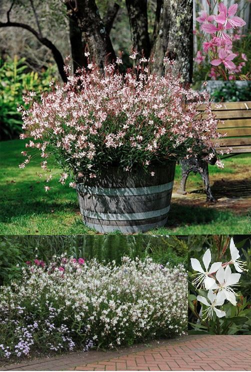 "Gaura 'Whirling Butterflies' (white flowers) 'Siskiyou Pink' [pink flowers] (Gaura Lindheimeri) - Zone 5-10 Full Sun-Part Shade. 2'-4' Height/Width. Herbaceous perennial with a graceful, loose, bushy habit. Orchid looking 1"" flowers emerge from the top half of tall, narrow, branching stems late spring-summer. Great for hot climates and dry areas with well-drained soil. Cut back mid-summer to rebloom in fall. Propagate by seed (self-seeds) & division of clumps."