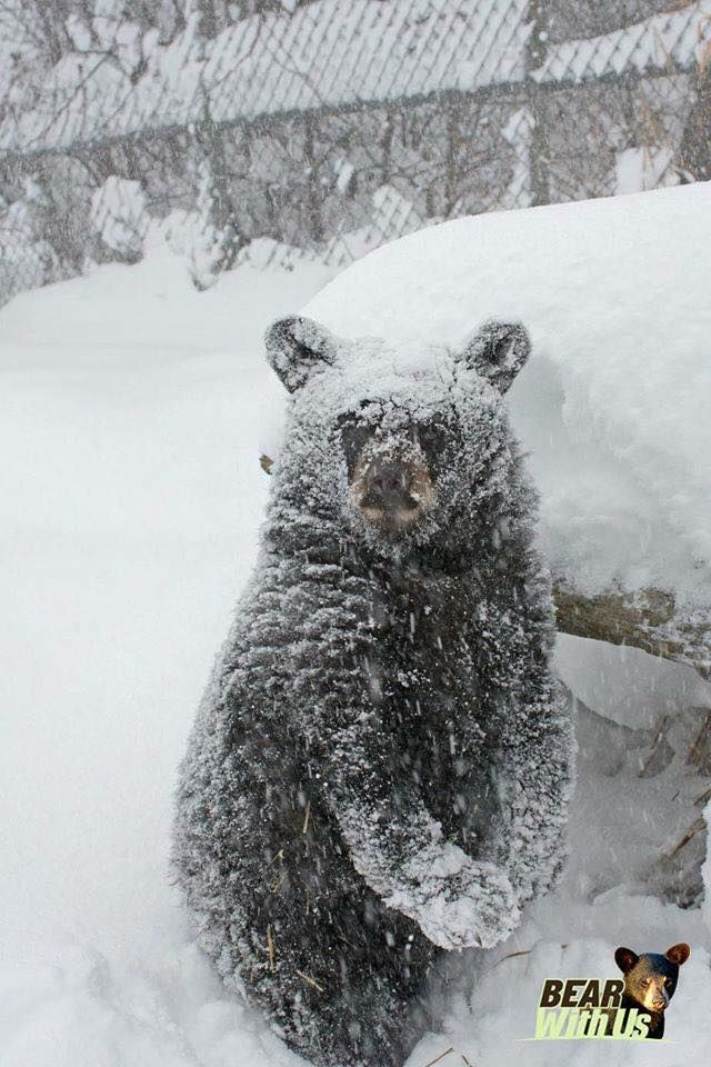 Bennie the snow cub during a storm on Nov. 21st 2014