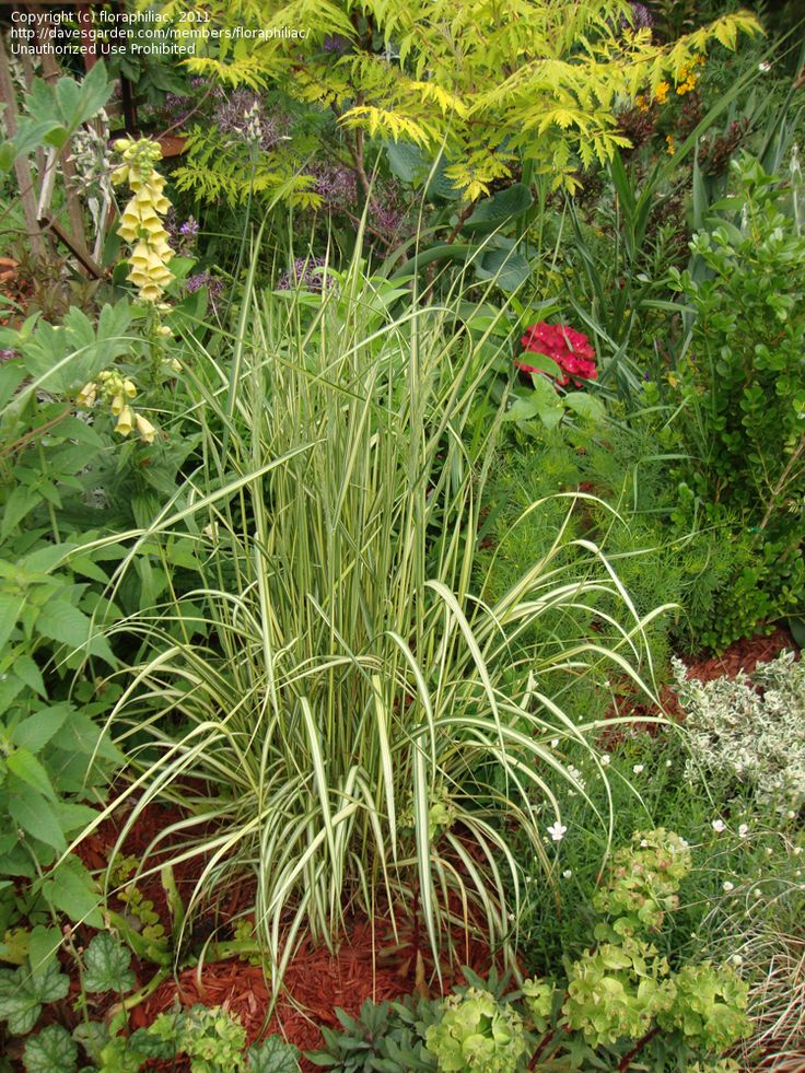 296 best images about ornamental grasses on pinterest for Tall feather grass