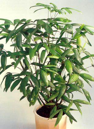 1000 id es sur le th me culture du bambou sur pinterest plantes de bambou. Black Bedroom Furniture Sets. Home Design Ideas