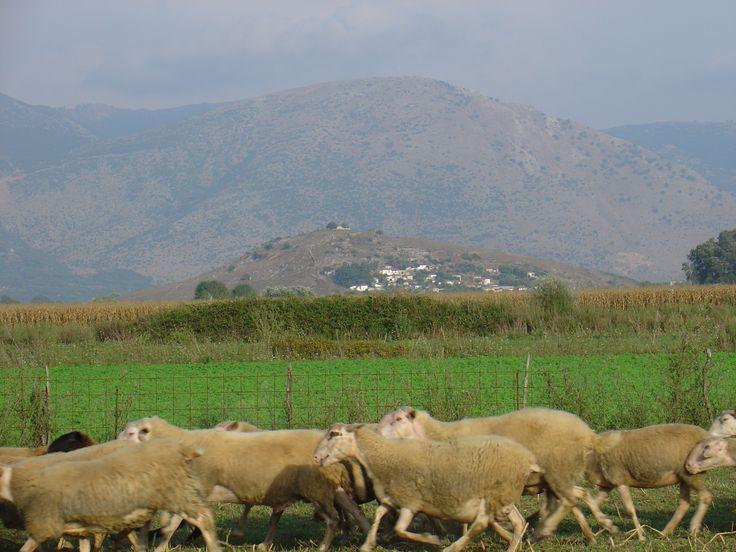 Grecja dzika: owce na Uniwersytecie w Joaninach